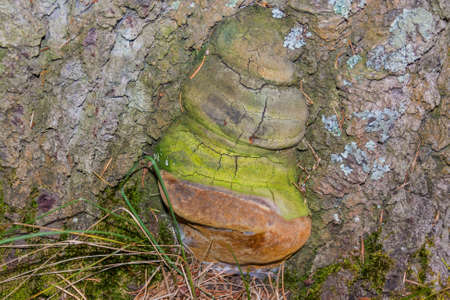 Wood fungus parasite on the basis of the trunk of old fir Stock Photo