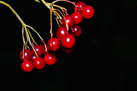 Sprig of red ripe viburnum on a black background.