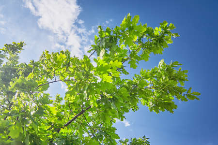 Oak branch lit by the sun against the blue summer sky Stock Photo - 88167911