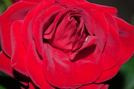 Beautiful of red rose on a blurred background. Close-up.