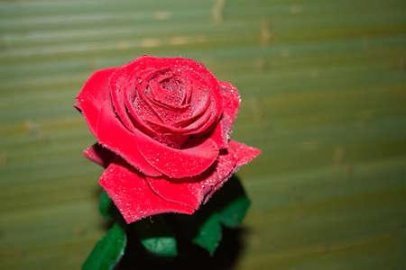 Rose rouge avec des gouttelettes en arrière-plan flou Banque d'images - 89440621