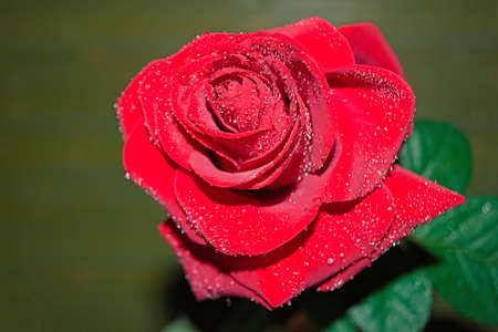 red rose with droplets in blur background Stock Photo
