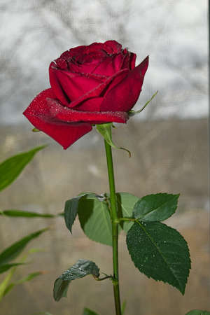 sexual intimacy: Red rose on the background of the window Stock Photo