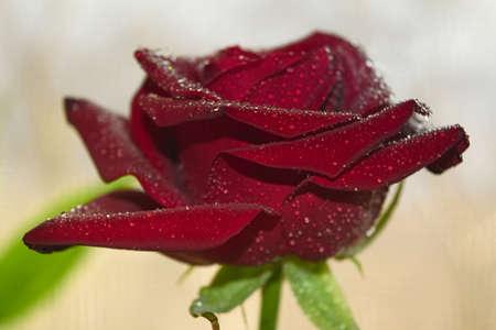relaciones sexuales: Rosa roja en el fondo de la ventana