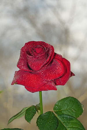 relaciones sexuales: Red rose on the background of the window Foto de archivo