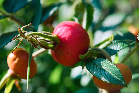 Detail of a dog roses ripe red fruits.