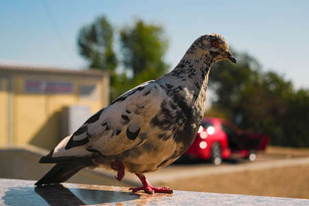 Street pigeon stands on one foot , blurred background