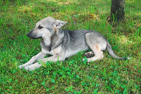 Cute grey dog portrait, close-up of mongrel puppy lying in the grass Stock Photo