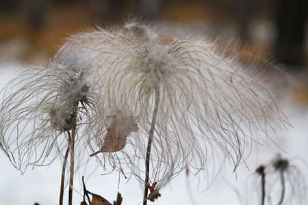 White flower with fluffy seeds close-up in winter