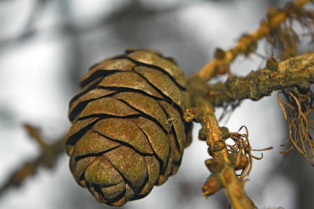 The branches of larch cones and dry. Background. Abstraction. Imagens