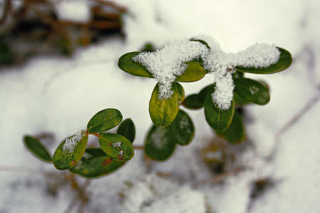 Shrubs of green cowberry under the first snow
