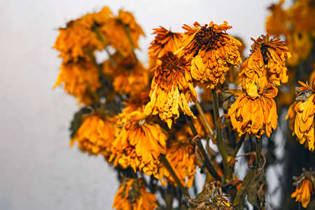 Withered bouquet of yellow chrysanthemums on the blurred background of the frozen window Stock Photo