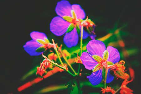 Purple flower of Geranium pratense in field