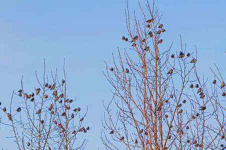 A flock of waxwings on the branches of a tree in winter against the sky 写真素材