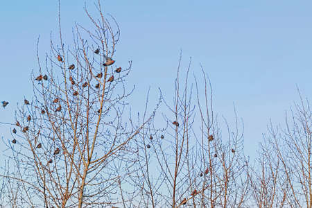 A flock of waxwings on the branches of a tree in winter against the sky Stock Photo