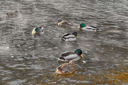A flock of wild ducks swimming in the river in winter
