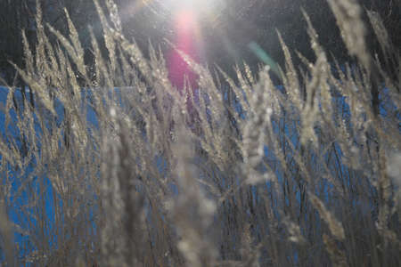 A stalk of fluff is covered with hoarfrost on a blurred background