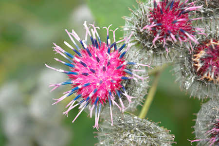 Wild thistle with a blooming pink flower on a green blurred background. Stockfoto