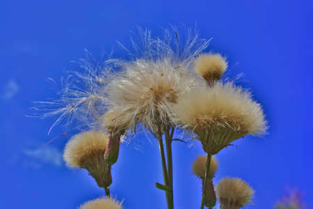 Green branched plant with white fluffy seeds closeup in a field against blue sky
