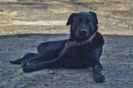 Portrait of a black mongrel dog in a collar resting in the shade Фото со стока