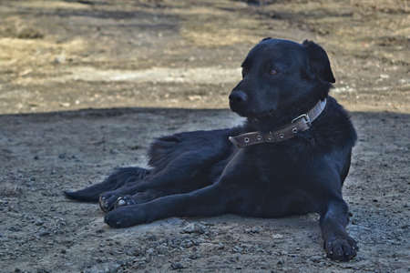 Portrait of a black mongrel dog in a collar resting in the shade Stock Photo