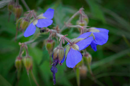 Purple flower of Geranium pratense in field, stylized for painting.