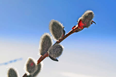 Close up of pussy willows as a spring symbol. Stock Photo