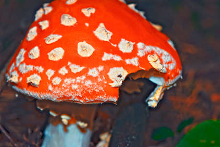 Amanita Muscaria, poisonous mushroom. Natural forest background Фото со стока
