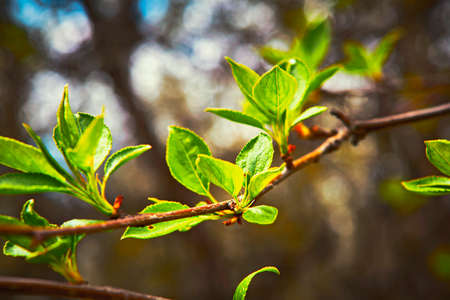Young budding leaves in spring Stock Photo
