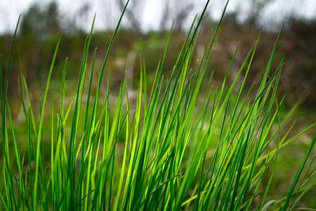 Fresh green spring grass closeup. Soft Focus. Abstract Nature Background 免版税图像