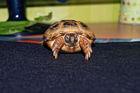 Portrait of a Central Asian tortoise. Agrionemys horsfieldii.