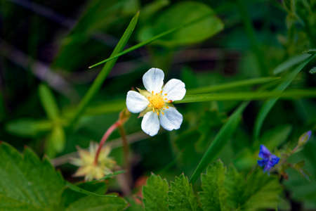 White flowers of wild strawberries among green leaves. Wild strawberry blooms all summer.