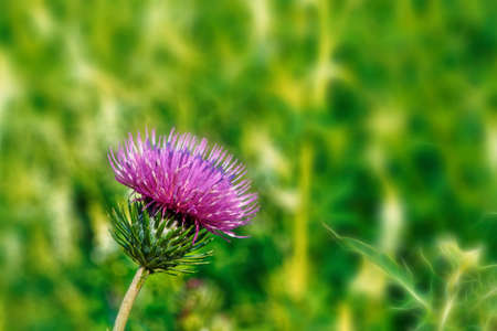 Wild thistle with a blooming pink flower on a green blurred background. Stock Photo