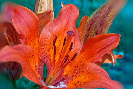 Lily flowers. Lily flowers grow in a country house garden Stock Photo
