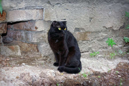 A young half-breed Scottish cat of black color walks on the street Stock Photo