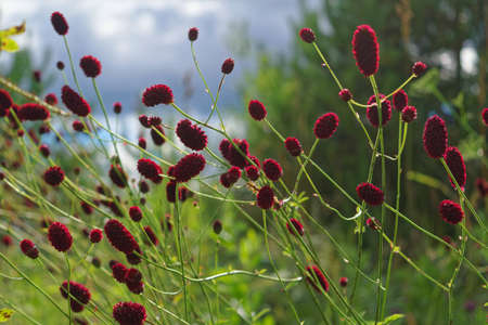 Great burnet Sanguisorba officinalis close-up Stock Photo