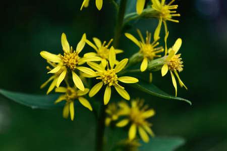Jacobaea vulgaris flower blooming in spring Stock Photo