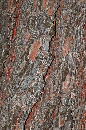 bark of pine tree trunk texture background. Pine. bark of pine tree. Stock Photo