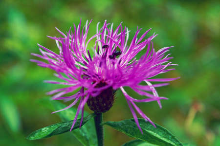 pink milk thistle flower in bloom in summer morning. Close-up.
