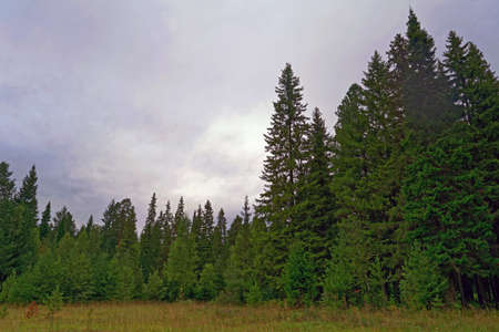 Evening in the beautiful spruce summer forest Stock Photo - 107816029