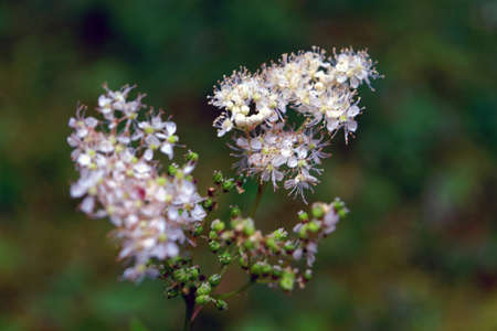 Meadowsweet Filipendula ulmaria. Flowers in the natural background.