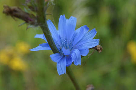 Close up Blue Chicory flower. Cichorium intybus. Chicory flower on blurred background
