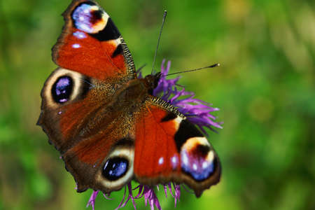Close-up detailed photo of a European peacock Aglais io butterfly on a purple wildflower.