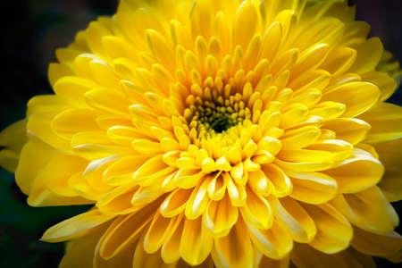 Primo piano di un bel fiore di crisantemo giallo tenero