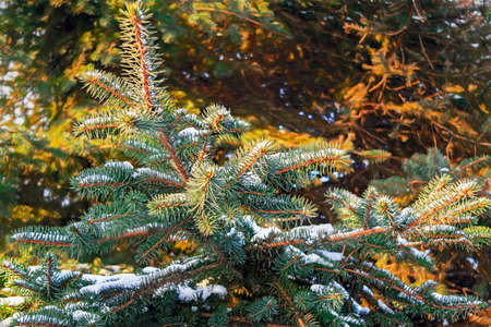 Winter and Christmas Background. Close-up Photo of Fir-tree Branch Covered Snow. Stock Photo