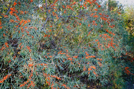 branches of wild forest sea buckthorn with ripe fruits
