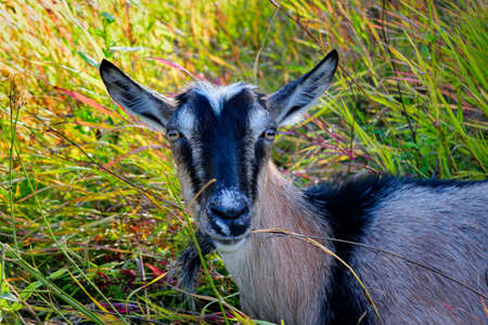 Close-up portrait of white goat grassing on green summer meadow field Banco de Imagens