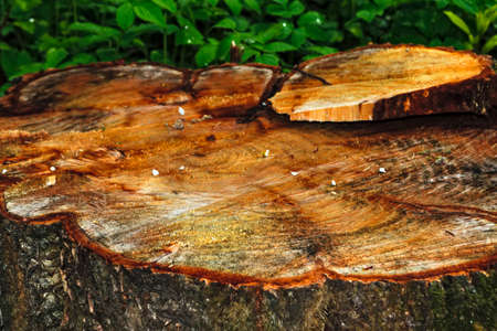 Wooden cut texture of apple tree Imagens