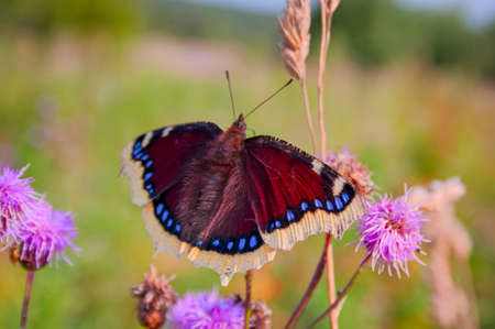 Butterfly Mourning Cloak Nymphalis antiopa sitting on a flower on a blurred background close-up Archivio Fotografico
