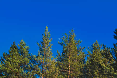 Crown of pine trees on the background of the evening sky and the rising moon